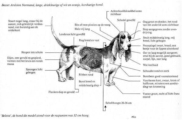 Aussehen basset art sien normand de b r nice for Exterieur hond